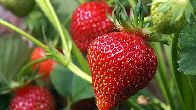 Mladé a zdravé jahodníky dávají nejlepší úrodu