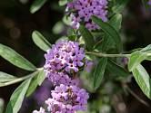 Komule střídavolistá (Buddleja alternifolia), známá jako motýlí keř.