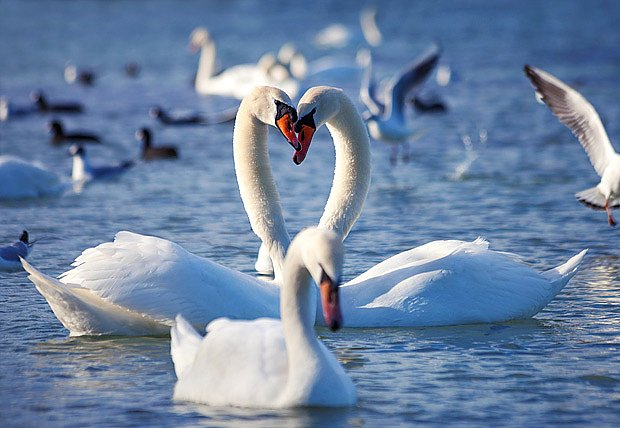 Zásnubní tance stálého páru labutí probíhají každý rok znovu