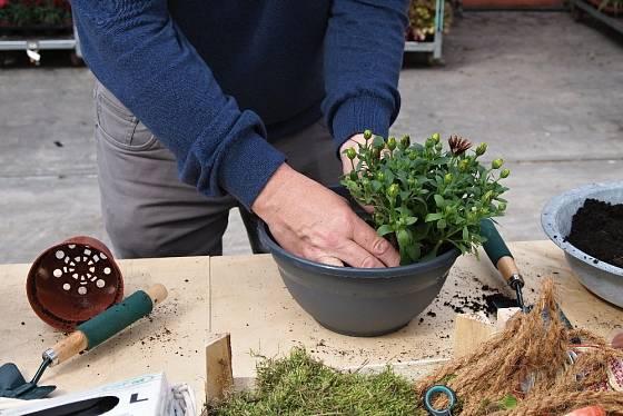 Rostlinu posadíme do misky tak, aby byla zasazena tak hluboko, jako rostla v květináči.