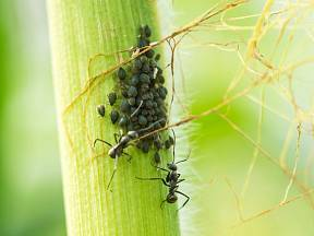 Mravenci jsou užiteční tvorové. V zahradě jsou však postrachem