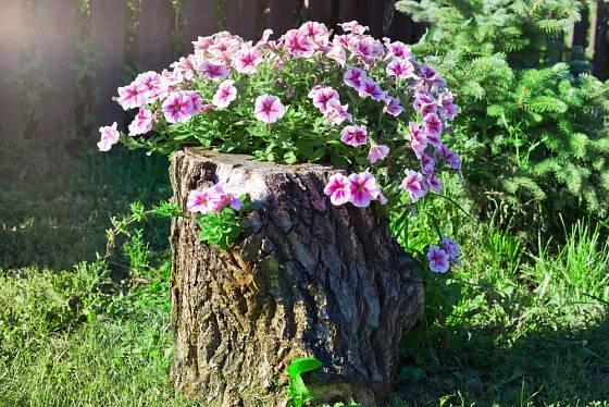 Pařez na zahradě je skvělá pěstební nádoba pro letničky.