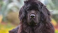 Obr tělem i duší, pes s povahu záchranáře - novofundlanďan.