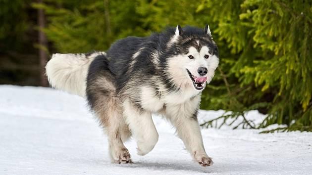 Aljašský malamut je velmi bystrý a učenlivý pes