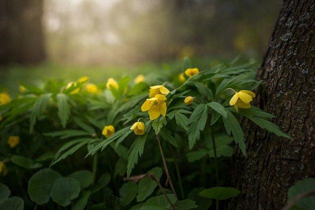 Sasanka pryskyřníkovitá (Anemone ranunculoides)