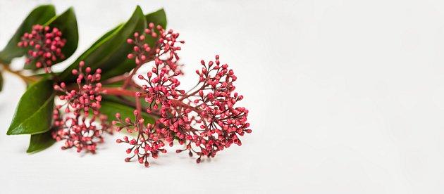 Poupata skimie jsou hojně využívána v květinových aranžích