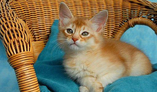 červenohnědá stříbřitá somálská kočka