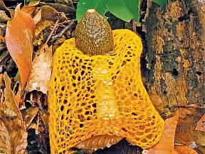 Žlutá forma síťovky dvojité (Dictyophora duplicata f. lutea)