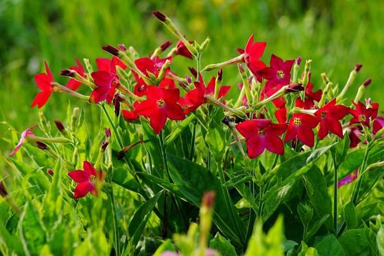 Okrasný tabák se množí semenem a na venkovní stanoviště se vysazuje koncem května.