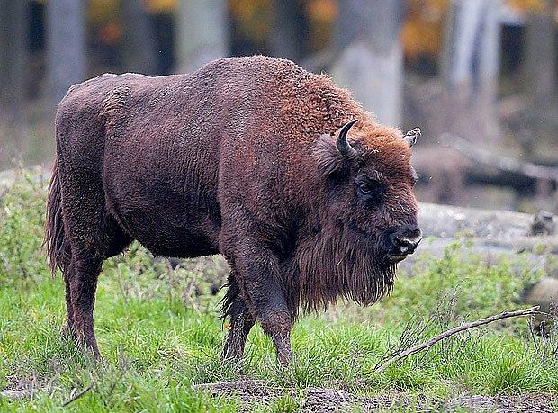 Zubr, největší evropský savec, se vrátil do našich lesů