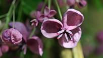 Květy popínavé rostliny akébie pětičetné (Akebia quinata)
