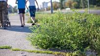 Ambrozie peřenolistá (Ambrosia artemisiifolia) roste na plochách ovlivněných činností člověka.