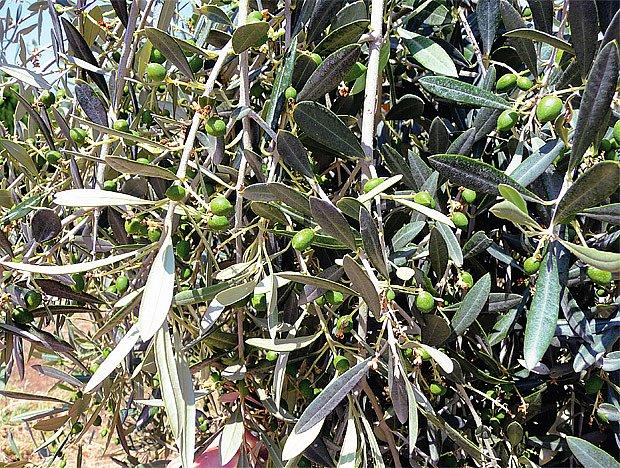 Hlošina úzkolistá (Elaeagnus angustifolia) zvaná též česká oliva