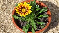 Gazánie zářivá (Gazania splendens) Yellow flame