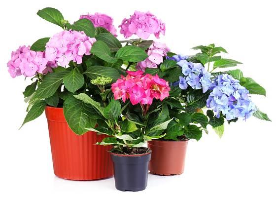 Prodejci nabízejí hortenzie různých velikostí i barev.
