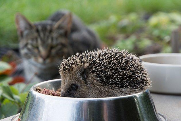 Proti ježčím bodlinám kočka nic nesvede