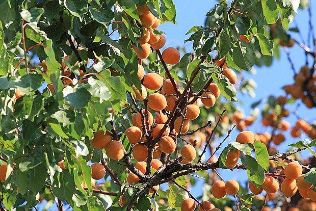bohatá úroda meruňek
