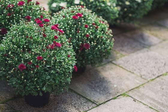 Z teprve nakvétajících chryzantém se budete těšit déle