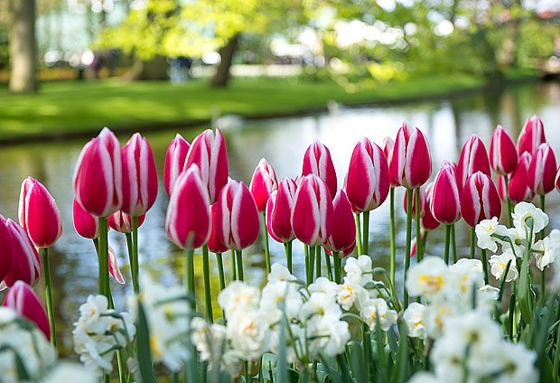 narcisy a tulipány