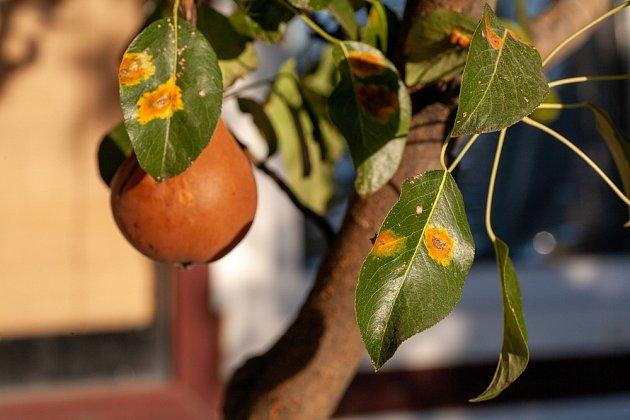 Některé druhy jalovců jsou přenašeči rzi hrušňové.