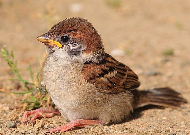 vrabčátko, aneb mladý vrabec polní