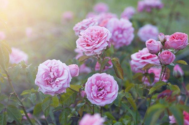 Mnohé odrůdy růží vás květy potěší dvakrát ročně