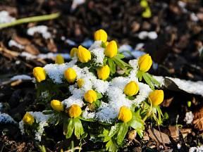 Talovín ve sněhu.