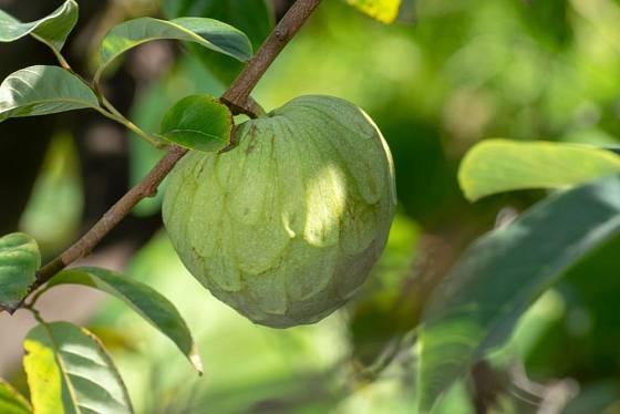 zrající plod láhevníku, čerimoja