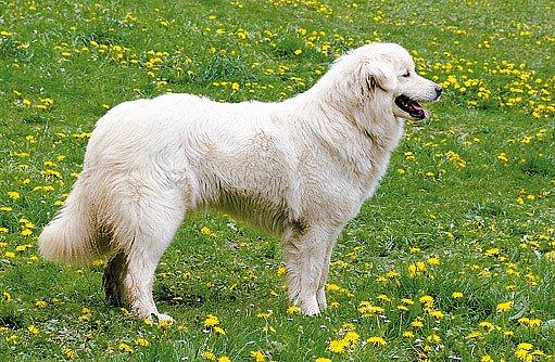hlídač pastvin
