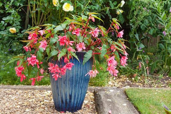fuchsie, vděčné květiny do polostínu