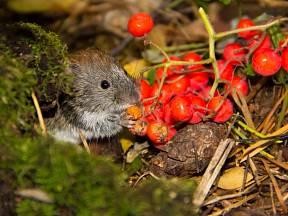 Myši, myšice, hraboši, hryzci, norníci. To jsou zvířátka, která na zahradě vidět nechceme
