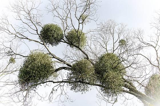 Jmelí roste jako poloparazit v korunách stromů