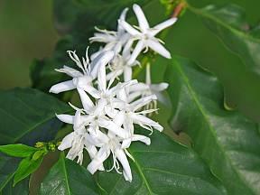 květy kávovníku
