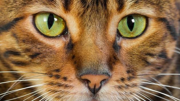 Kočičí zorničky jsou eliptické - mohou se zavírat a otevírat mnohem rychleji a umožňují pronikání většího množství světla.