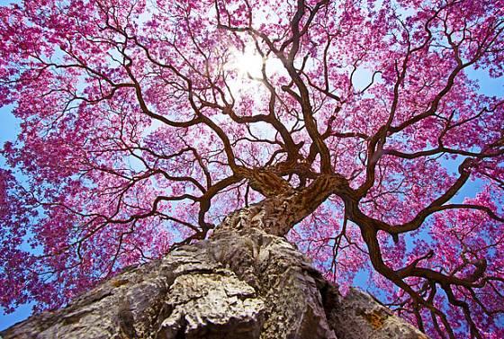 Lapacho rudé je krásný, dlouhověký a léčivý strom