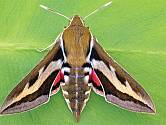 Lišaj svízelový (Hyles gallii)