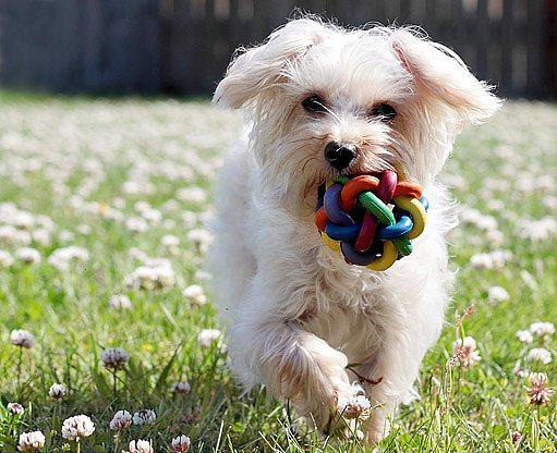 maltézský psík - ostříhaný