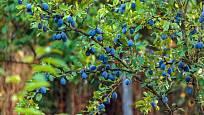 Slivoně jsou krásné a plodné ovocné stromy