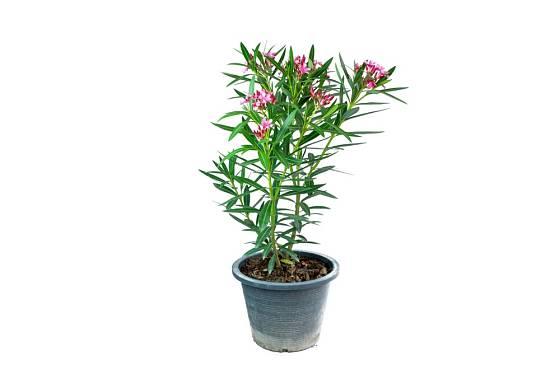 Oleandry se prodávají předpěstované v květináčích.