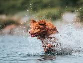 Kanadský retrívr miluje vodu a aportování.
