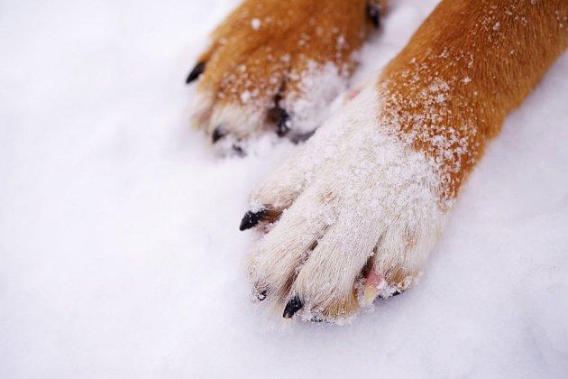 V zimě je důležité pečovat psovi o tlapky. Problémy působí hlavně sůl ve sněhu.