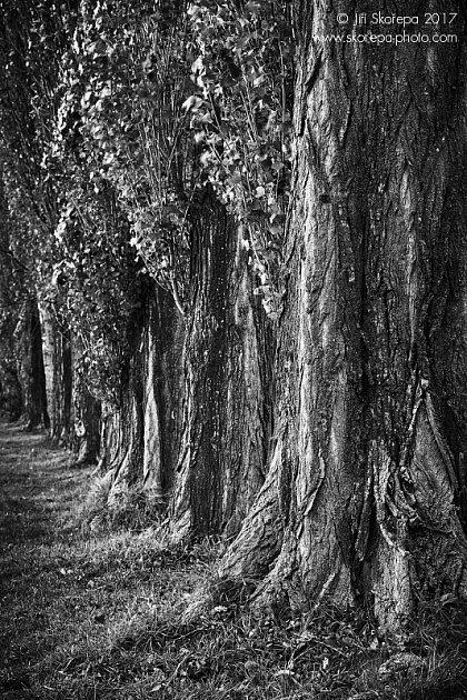 Populus-nigra-italica-Stráž-Pelhřimov-800C-2017-11-04-Vario-Sonnar-T-80-200-f-4-_DSC9098
