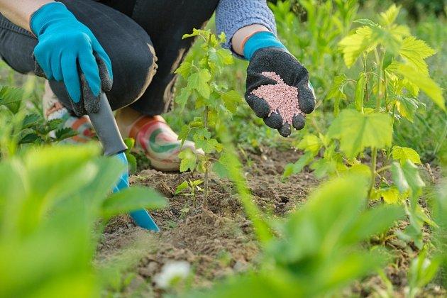Můžete hnojit chemicky, nebo hnojivem, které si vyrobíte doma