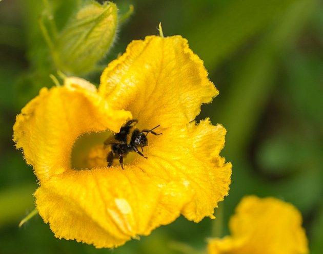 Nejlepším opylovačem jsou včely a čmeláci