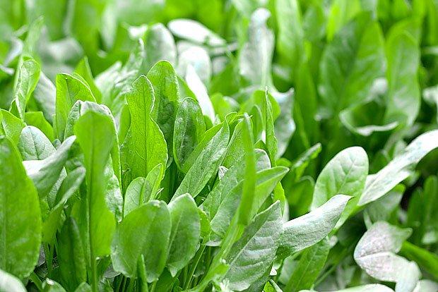Šťovík zahradní je chutná vytrvalá zelenina