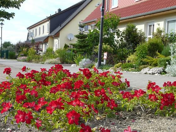 Půdopokryvná růže Sommerabend