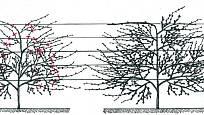 Tvarování vistárie do palmety ve třetím a čtvrtém roce