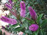 Atraktivní fialové květy upoutají na první pohled