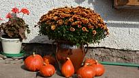 Chryzantémy po odkvětu nevyhazujte, ale přezimujte ve skleníku.