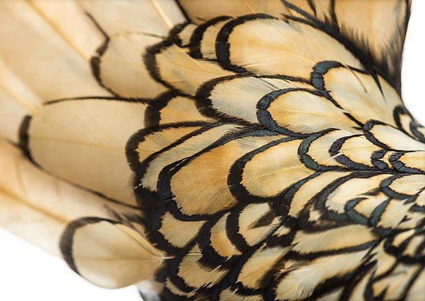 Zdrobnělé slepice sebritky mají výjimečnu kresbu peří